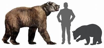 Bear Faced Short Human Comparison Presentations Sandy