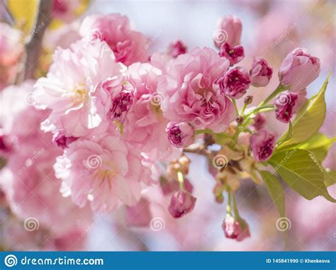 Close Up Beautiful Perfect Blooming Pink Sakura Cherry