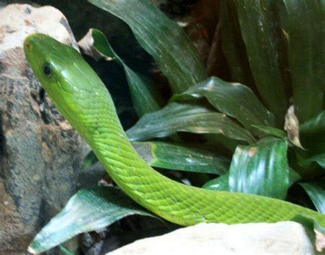 snakes green mamba