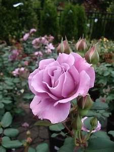 Plants  U0026 Flowers  U00bb Rose Paradise