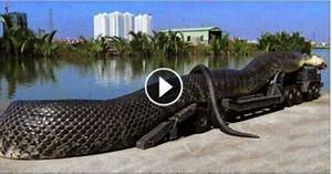 biggest snake in the world 55ft in malaysia | Awesome ...