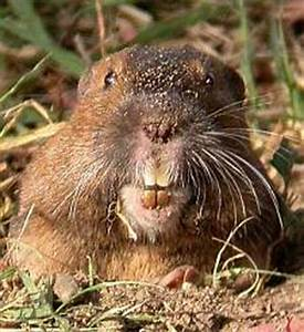 What Does A Gopher Look Like?