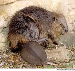 Beaver Definition