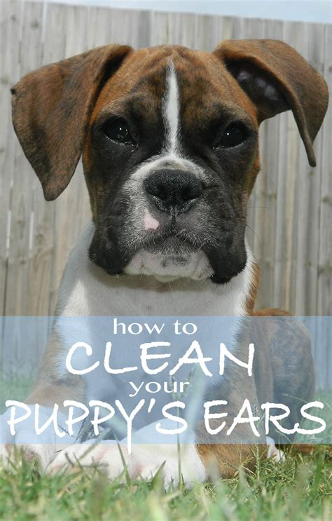 how to clean a s ears how to clean your puppy s ears the happy puppy site