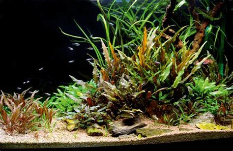 Cryptocoryne Aquascape by Crypts Galore Copyright 169 Webb Things I Like In