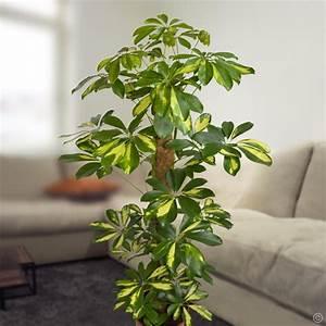 Große Zimmerpflanzen Pflegeleicht : schefflera arboricola gold capella 1 plante achetez en ~ Lizthompson.info Haus und Dekorationen