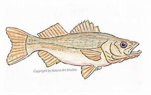 Hand Crafted Art Card With Walleye Pike Fish Drawing by ...
