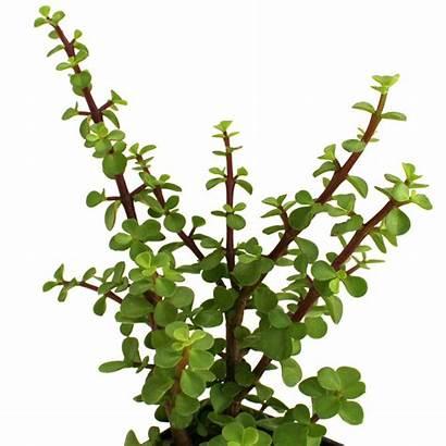 Google Tall Sempervivum Lion Succulents Types Succulent