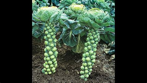 grow brussels sprouts pruning trimming