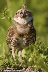 Burrowing Owl Eating Frog