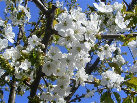 Free Images : tree nature branch blossom sky white