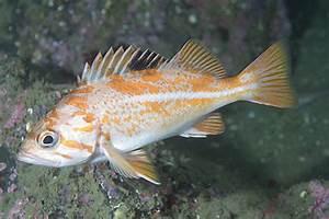 New Blog 1: Canary Rockfish