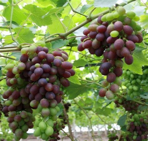 prezzo uva da tavola uva da tavola inizia la raccolta in puglia agronotizie
