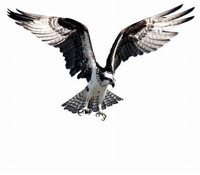 Osprey Clipart Bird Transparent Webstockreview Fish Decals