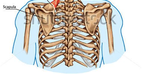 posterior thoracics cage showing connection   ribs