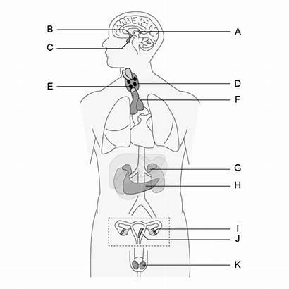 Endocrine System Worksheets Worksheet Labeling Printable Tests