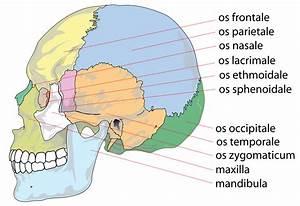 File Human Skull Side Bones Svg