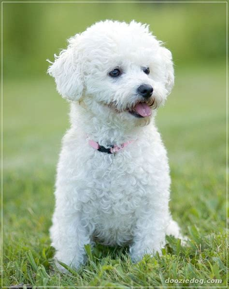 Do Bichons Shed Hair by 20 Low Maintenance Breeds