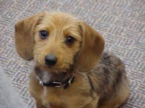 picture of a dachshund wirehaired miniature dachshund