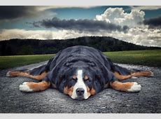 Sennenhund Relaxing 5k Retina Ultra HD Wallpaper