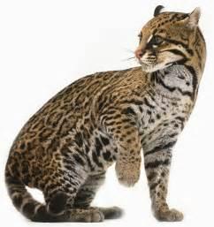 ocelot cat errant serval mistaken for ocelot in arizona history