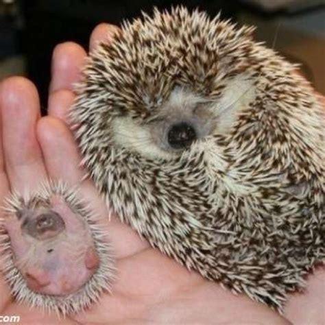 Hedgehogs Sharesloth