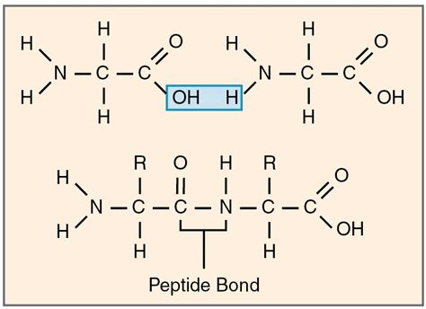 peptide bond condensation reaction and amino acids on