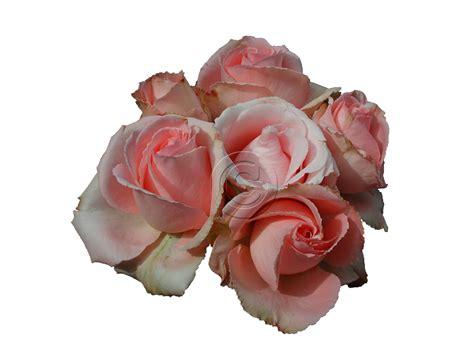 Permalink to Single Black Rose Wallpaper