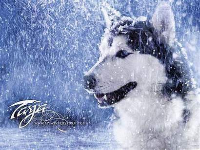 Winter Storm Husky Wallpapers Siberian Snow Dog