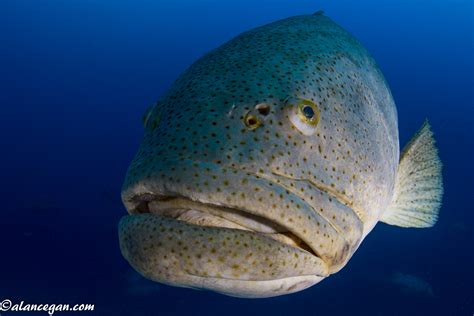 fish lips grouper giant underwater goliath slideshow