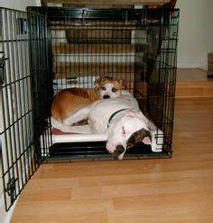 american pit bull terrier on pinterest pit bull terriers With pitbull proof dog bed