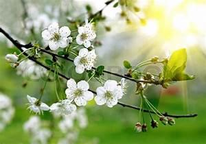 Baum Mit Weißen Blüten : zweigniederlassung einer bl henden baum mit sch nen wei en ~ Michelbontemps.com Haus und Dekorationen
