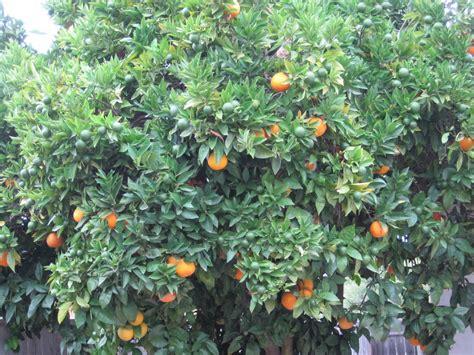 ayo mewarnai jeruk jeruk atau limau adalah semua tumbuhan
