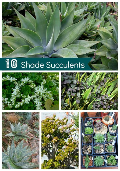 succulents shade shade succulents drought tolerant garden guide install it direct