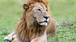 What Color Are Lions Eyes