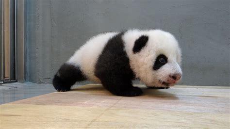 上野の赤ちゃんパンダ「シャンシャン」が中国へ帰る日(坂東太郎) - 個人 - Yahoo!ニュース