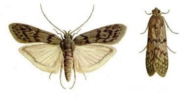 pantry moths life cycle  moth control part