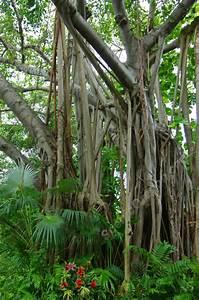 Ficus Benjamini Vermehren : giant ficus tree 1 ficus benjamina ~ Lizthompson.info Haus und Dekorationen