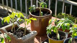 Gurken Im Kübel : tomaten im k bel auf dem balkon anbauen ratgeber garten nutzpflanzen ~ Frokenaadalensverden.com Haus und Dekorationen