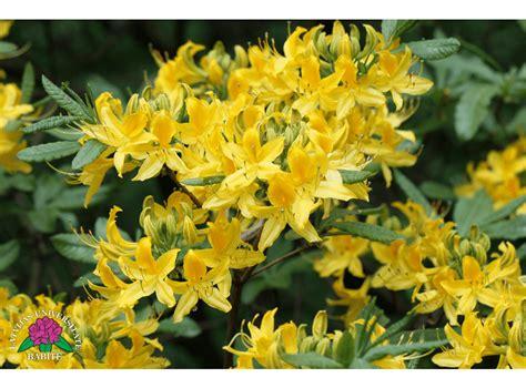 Latvijas stādi - Rhododendron luteum - dzeltenais rododendrs