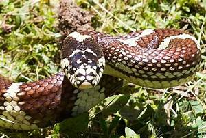 Common Kingsnake - Lampropeltis getula - DesertUSA