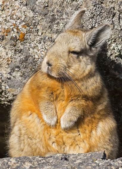 Viscacha Southern Basking Animals Reddit Aww