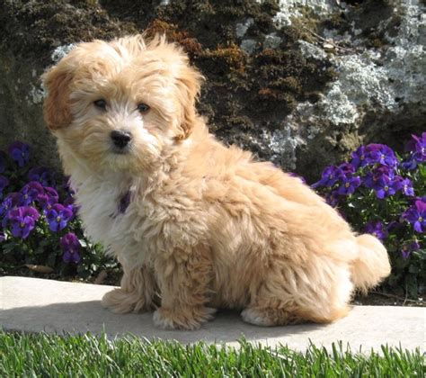 Lhasa Apso Mix Shedding Lhasa Poo Lhasa Apso Poodle Mix Info Temperament Puppies Pictures