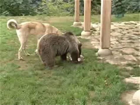 turkish kangal dog playing  bear youtube