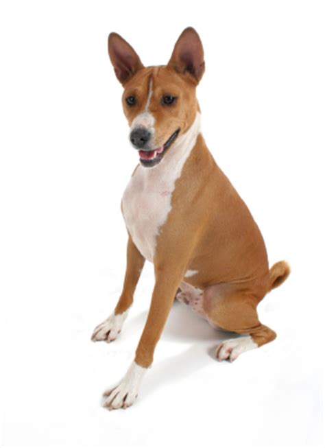 Basenji Shedding A Lot by Basenji Information Facts Pictures And Grooming