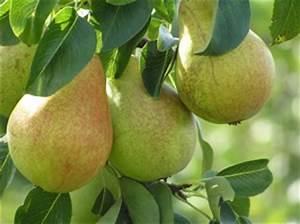 Zimmerpflanzen Alte Sorten : birnbaum pflanzen schneiden krankheiten ~ Michelbontemps.com Haus und Dekorationen