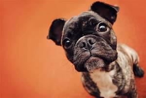 Dog french bulldog muzzle puppy wallpaper | 2048x1371 ...