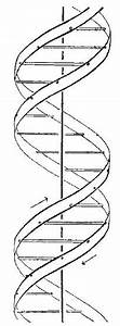 Beautiful  Diagram Of Dna Double Helix As Proposed By