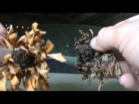 how to save zinnia seeds how to collect zinnia seeds the simple way youtube