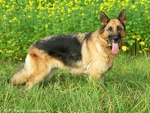 German Shepherd Dog Pictures and Informations - Dog-Breeds.com